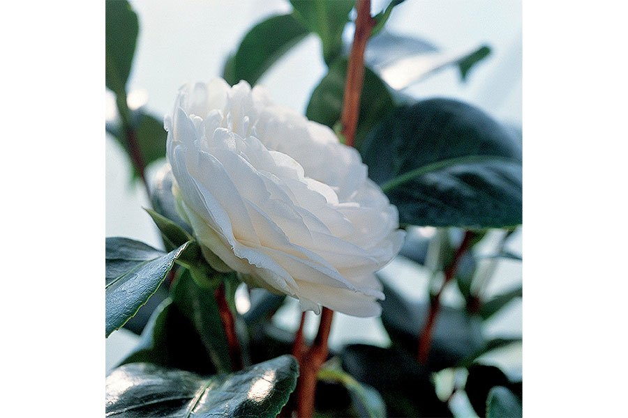 Chanel-Hydra-Beauty-Camellia-japonica