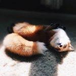 cute fox chilling, foxy