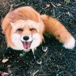 cute fox smiling, smiling fox