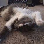 lying cat,