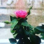 Olya rose