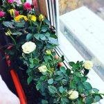 Olya roses