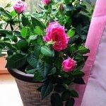 olya roses1
